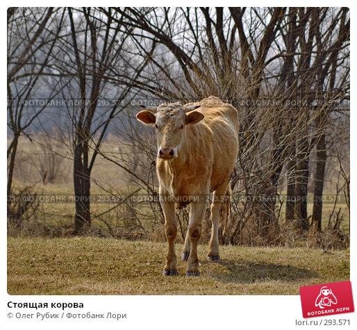 Стоящая корова, фото № 293571, снято 18 апреля 2008 г. (c) Олег Рубик / Фотобанк Лори