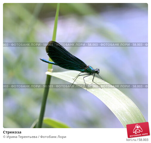 Стрекоза, эксклюзивное фото № 58003, снято 28 июня 2007 г. (c) Ирина Терентьева / Фотобанк Лори