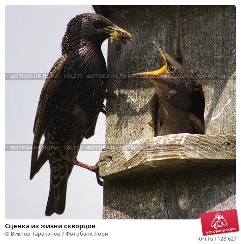 Купить «Сценка из жизни скворцов», эксклюзивное фото № 128627, снято 27 мая 2007 г. (c) Виктор Тараканов / Фотобанк Лори