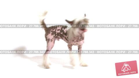 Купить «Studio shot of a purebred Hairless Chinese Crested dog chasing its own tail in front of white background», видеоролик № 27788343, снято 26 июля 2014 г. (c) Алексей Кузнецов / Фотобанк Лори