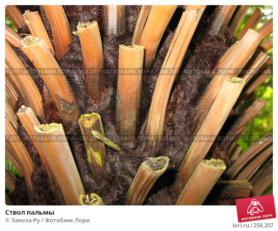 Ствол пальмы, фото № 258207, снято 12 апреля 2008 г. (c) Заноза-Ру / Фотобанк Лори