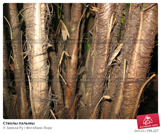 Стволы пальмы, фото № 258227, снято 12 апреля 2008 г. (c) Заноза-Ру / Фотобанк Лори