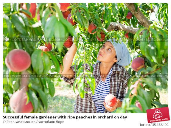 Successful female gardener with ripe peaches in orchard on day. Стоковое фото, фотограф Яков Филимонов / Фотобанк Лори