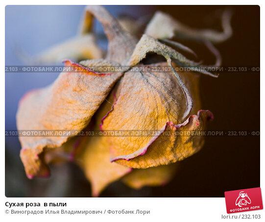 Сухая роза  в пыли, фото № 232103, снято 25 декабря 2007 г. (c) Виноградов Илья Владимирович / Фотобанк Лори