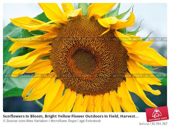 Sunflowers In Bloom, Bright Yellow Flower Outdoors In Field, Harvest... Стоковое фото, фотограф Zoonar.com/Alex Varlakov / age Fotostock / Фотобанк Лори