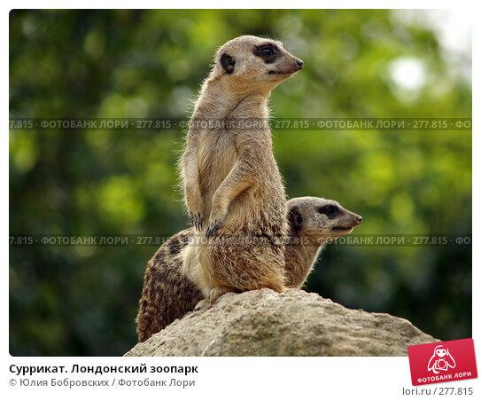 Суррикат. Лондонский зоопарк, фото № 277815, снято 22 апреля 2007 г. (c) Юлия Бобровских / Фотобанк Лори
