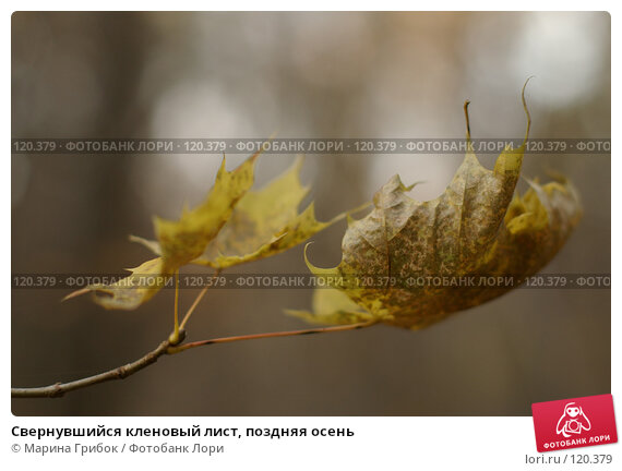 Свернувшийся кленовый лист, поздняя осень, фото № 120379, снято 28 октября 2007 г. (c) Марина Грибок / Фотобанк Лори