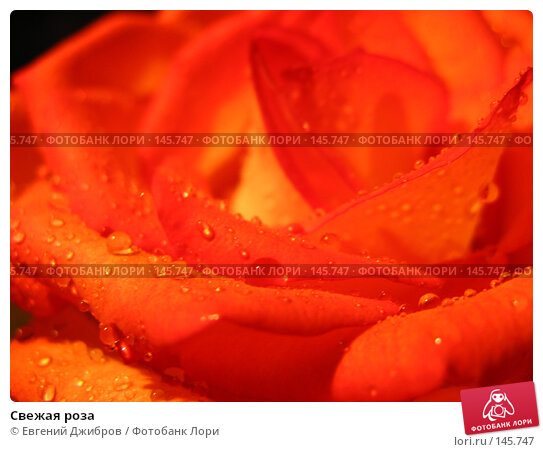 Свежая роза, фото № 145747, снято 27 ноября 2007 г. (c) Лысых Константин / Фотобанк Лори
