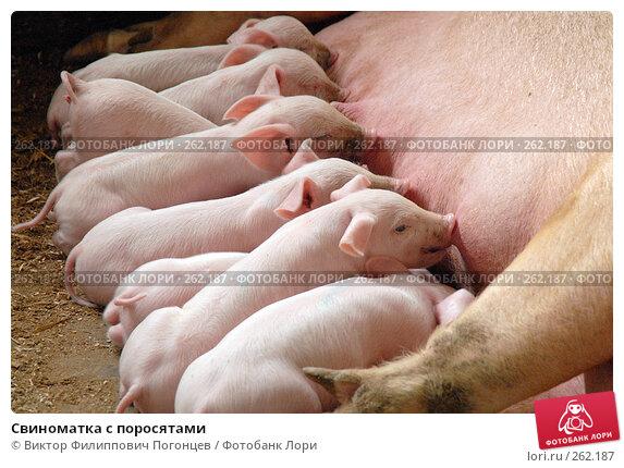 Свиноматка с поросятами, фото № 262187, снято 7 апреля 2006 г. (c) Виктор Филиппович Погонцев / Фотобанк Лори