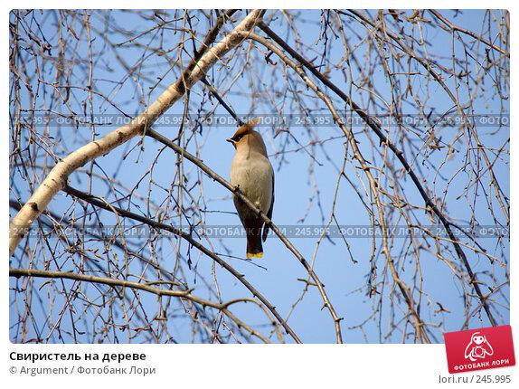 Свиристель на дереве, фото № 245995, снято 2 апреля 2008 г. (c) Argument / Фотобанк Лори