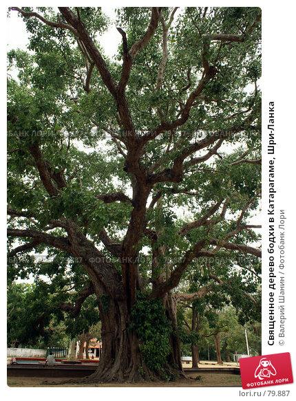 Священное дерево бодхи в Катарагаме, Шри-Ланка, фото № 79887, снято 16 июня 2007 г. (c) Валерий Шанин / Фотобанк Лори