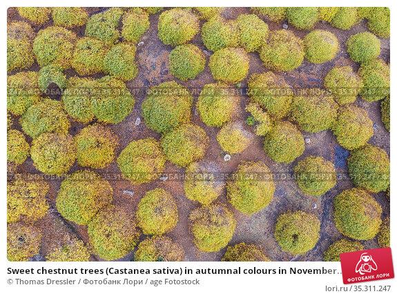 Sweet chestnut trees (Castanea sativa) in autumnal colours in November... Стоковое фото, фотограф Thomas Dressler / age Fotostock / Фотобанк Лори