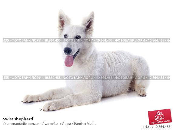 Купить «Swiss shepherd», фото № 10864435, снято 22 сентября 2019 г. (c) PantherMedia / Фотобанк Лори