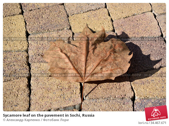 Sycamore leaf on the pavement in Sochi, Russia (2016 год). Стоковое фото, фотограф Александр Карпенко / Фотобанк Лори