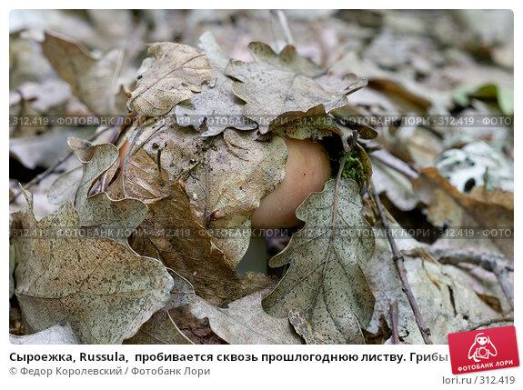 Сыроежка, Russula,  пробивается сквозь прошлогоднюю листву. Грибы Кубани, фото № 312419, снято 4 июня 2008 г. (c) Федор Королевский / Фотобанк Лори