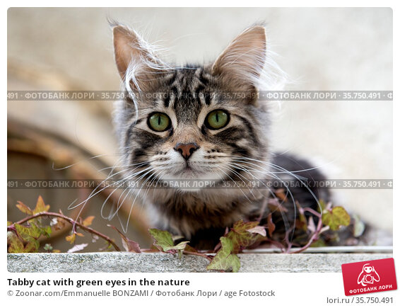 Tabby cat with green eyes in the nature. Стоковое фото, фотограф Zoonar.com/Emmanuelle BONZAMI / age Fotostock / Фотобанк Лори