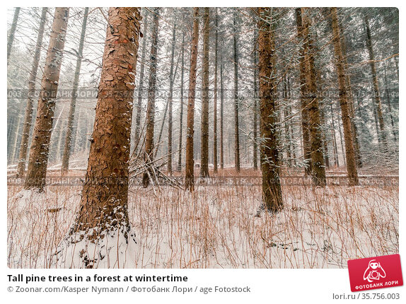 Tall pine trees in a forest at wintertime. Стоковое фото, фотограф Zoonar.com/Kasper Nymann / age Fotostock / Фотобанк Лори