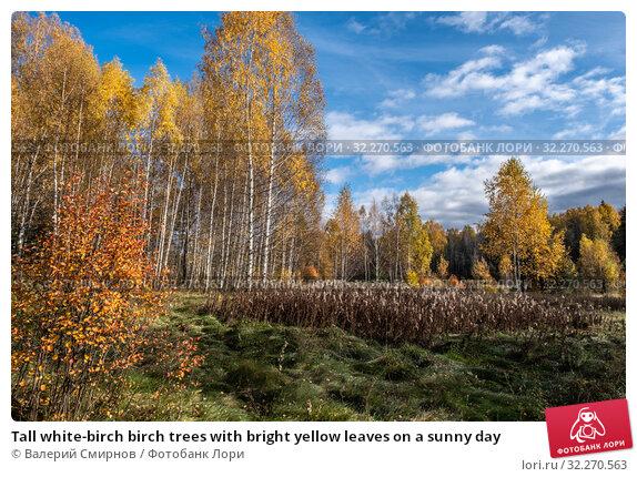Купить «Tall white-birch birch trees with bright yellow leaves on a sunny day», фото № 32270563, снято 5 октября 2019 г. (c) Валерий Смирнов / Фотобанк Лори