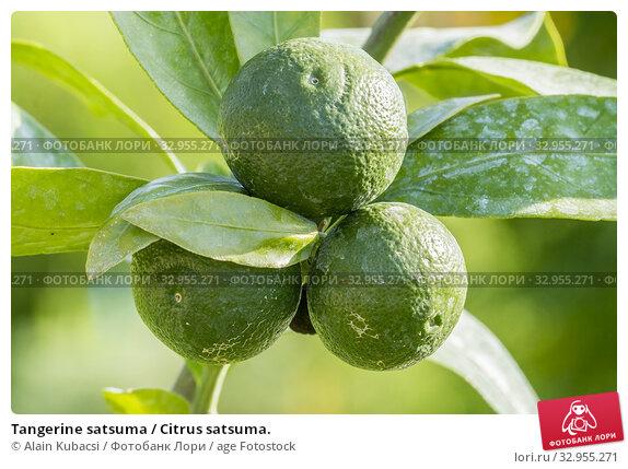 Tangerine satsuma / Citrus satsuma. Стоковое фото, фотограф Alain Kubacsi / age Fotostock / Фотобанк Лори