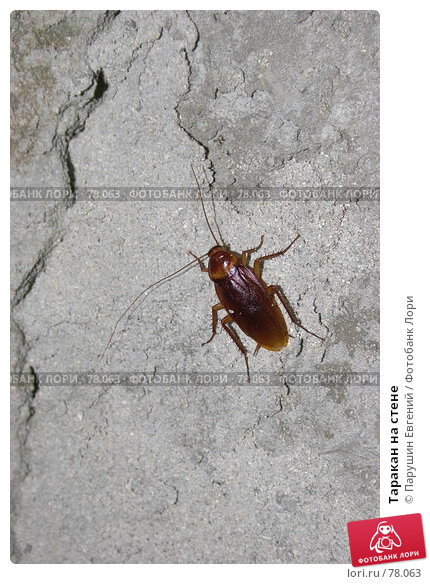 Купить «Таракан на стене», фото № 78063, снято 22 апреля 2018 г. (c) Парушин Евгений / Фотобанк Лори