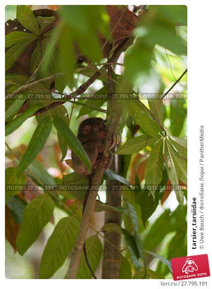 Купить «tarsier,tarsiidae», фото № 27795191, снято 19 октября 2018 г. (c) PantherMedia / Фотобанк Лори