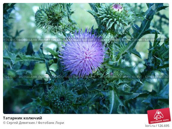 Татарник колючий, фото № 126695, снято 8 июля 2007 г. (c) Сергей Девяткин / Фотобанк Лори