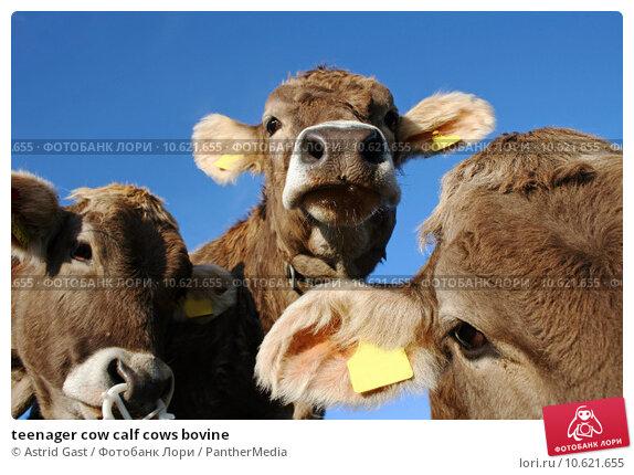teenager cow calf cows bovine. Стоковое фото, фотограф Astrid Gast / PantherMedia / Фотобанк Лори