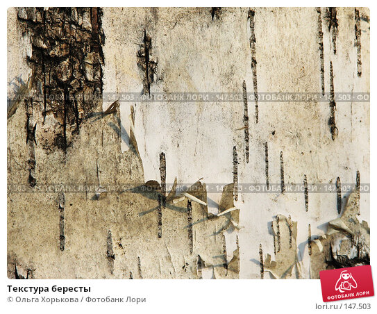 Купить «Текстура бересты», фото № 147503, снято 13 августа 2007 г. (c) Ольга Хорькова / Фотобанк Лори