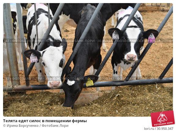 Купить «Телята едят силос в помещении фермы», фото № 30950347, снято 28 мая 2019 г. (c) Ирина Борсученко / Фотобанк Лори