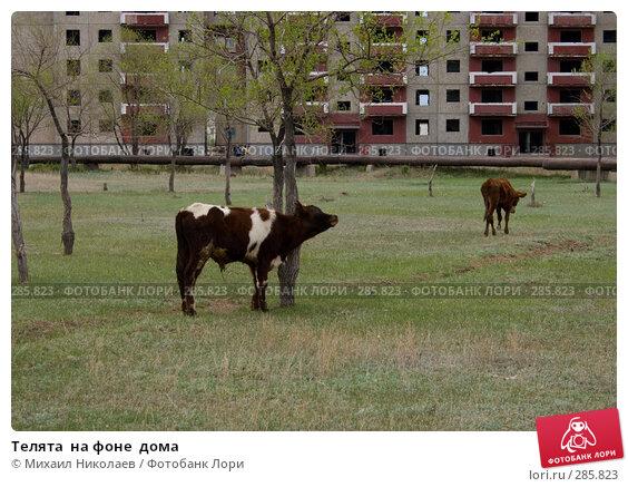 Телята  на фоне  дома, фото № 285823, снято 14 мая 2008 г. (c) Михаил Николаев / Фотобанк Лори
