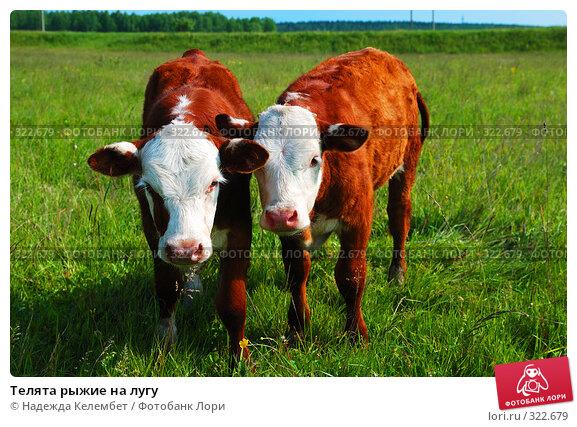 Телята рыжие на лугу, фото № 322679, снято 12 июня 2008 г. (c) Надежда Келембет / Фотобанк Лори
