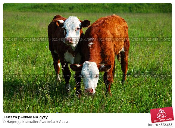 Телята рыжие на лугу, фото № 322683, снято 12 июня 2008 г. (c) Надежда Келембет / Фотобанк Лори