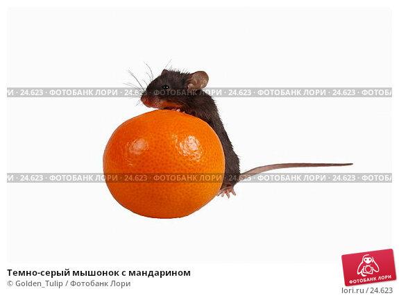 Темно-серый мышонок с мандарином, фото № 24623, снято 18 марта 2007 г. (c) Golden_Tulip / Фотобанк Лори