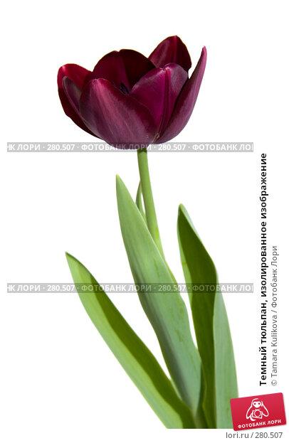 Купить «Темный тюльпан, изолированное изображение», фото № 280507, снято 11 мая 2008 г. (c) Tamara Kulikova / Фотобанк Лори
