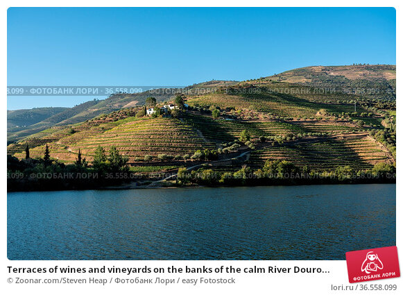 Terraces of wines and vineyards on the banks of the calm River Douro... Стоковое фото, фотограф Zoonar.com/Steven Heap / easy Fotostock / Фотобанк Лори