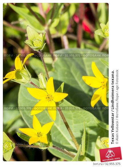 Texas Yellowstar / Lindheimera texana. Стоковое фото, фотограф Alain Kubacsi / age Fotostock / Фотобанк Лори