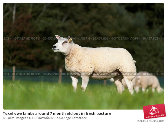 Texel ewe lambs around 7 month old out in fresh pasture. Стоковое фото, фотограф Farm Images \ UIG / age Fotostock / Фотобанк Лори
