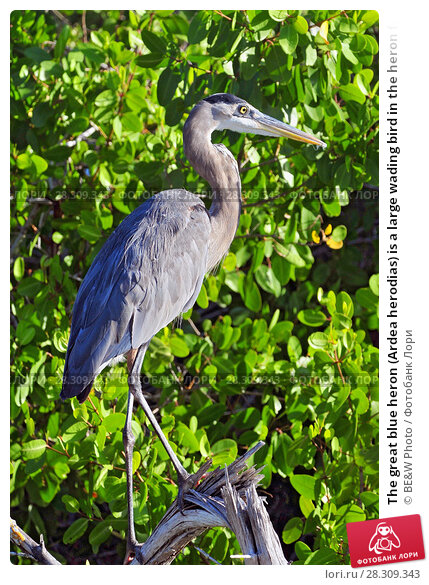 Купить «The great blue heron (Ardea herodias) is a large wading bird in the heron family, Rio Lagartos Natural Reserve, Mexico», фото № 28309343, снято 15 декабря 2018 г. (c) BE&W Photo / Фотобанк Лори