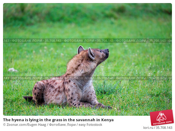 The hyena is lying in the grass in the savannah in Kenya. Стоковое фото, фотограф Zoonar.com/Eugen Haag / easy Fotostock / Фотобанк Лори