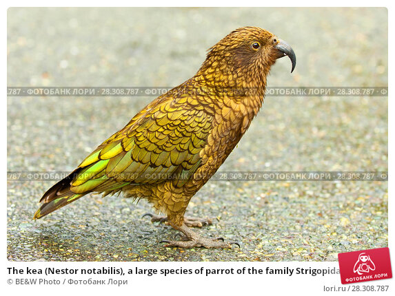Купить «The kea (Nestor notabilis), a large species of parrot of the family Strigopidae found in forested and alpine regions of the South Island of New Zealand», фото № 28308787, снято 19 марта 2019 г. (c) BE&W Photo / Фотобанк Лори