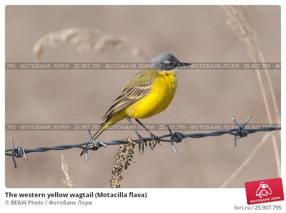 Купить «The western yellow wagtail (Motacilla flava)», фото № 25907795, снято 26 апреля 2019 г. (c) BE&W Photo / Фотобанк Лори