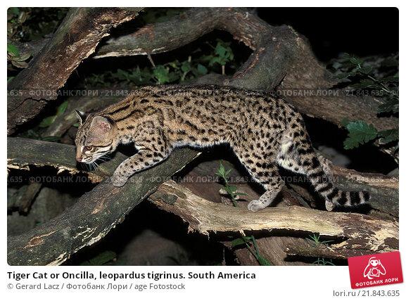 Купить «Tiger Cat or Oncilla, leopardus tigrinus. South America», фото № 21843635, снято 22 сентября 2019 г. (c) age Fotostock / Фотобанк Лори