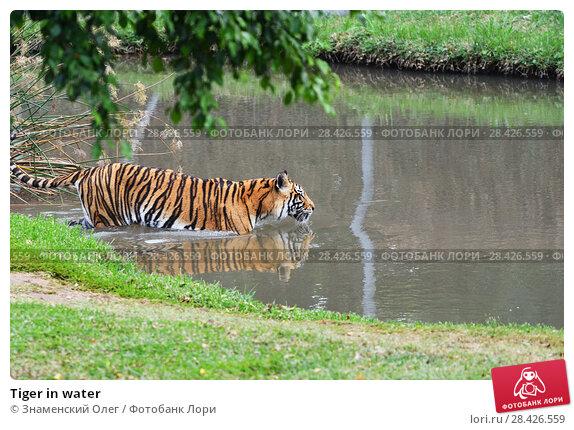 Купить «Tiger in water», фото № 28426559, снято 30 апреля 2013 г. (c) Знаменский Олег / Фотобанк Лори