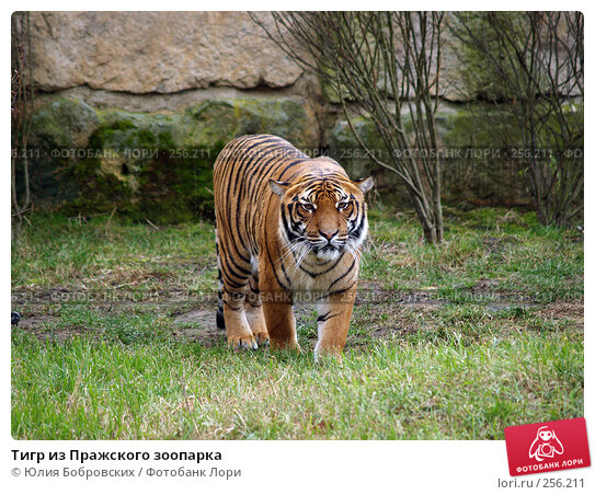Тигр из Пражского зоопарка, фото № 256211, снято 20 января 2008 г. (c) Юлия Бобровских / Фотобанк Лори