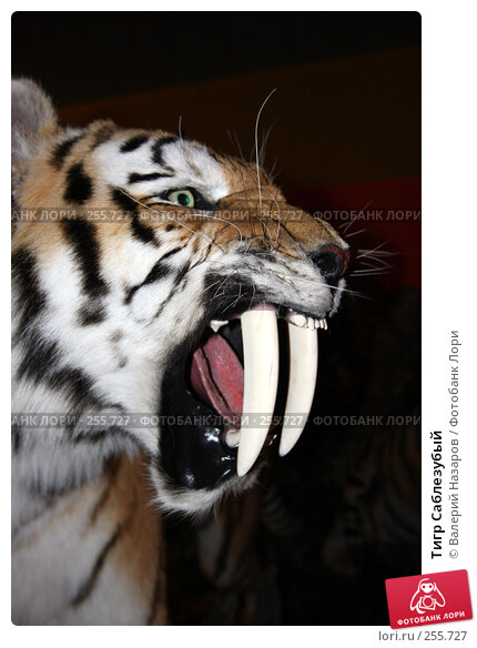 Тигр Саблезубый, фото № 255727, снято 6 апреля 2008 г. (c) Валерий Торопов / Фотобанк Лори