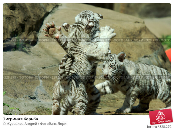 Купить «Тигриная борьба», эксклюзивное фото № 328279, снято 18 июня 2008 г. (c) Журавлев Андрей / Фотобанк Лори