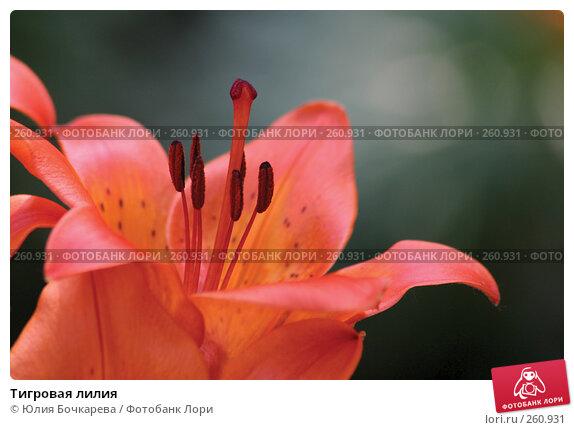 Купить «Тигровая лилия», фото № 260931, снято 15 июня 2005 г. (c) Юлия Бочкарева / Фотобанк Лори