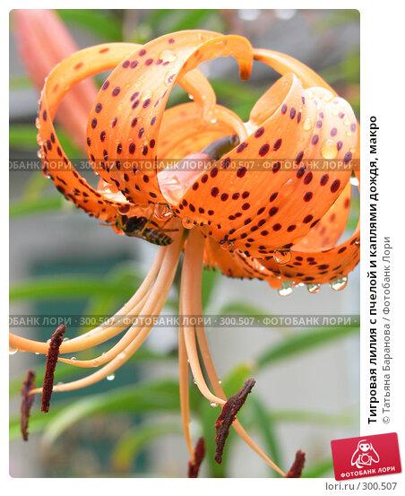 Тигровая лилия с пчелой и каплями дождя, макро, фото № 300507, снято 21 июля 2007 г. (c) Татьяна Баранова / Фотобанк Лори