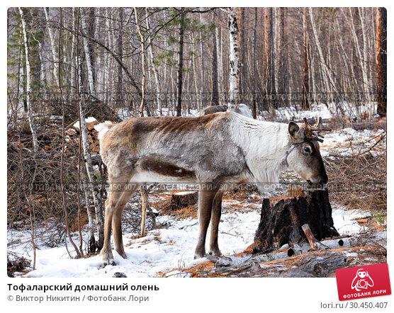 Тофаларский домашний олень. Стоковое фото, фотограф Виктор Никитин / Фотобанк Лори