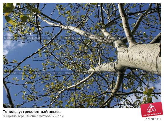 Тополь, устремленный ввысь, эксклюзивное фото № 311, снято 15 мая 2005 г. (c) Ирина Терентьева / Фотобанк Лори